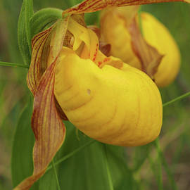 Yellow Lady's Slipper by James Peterson