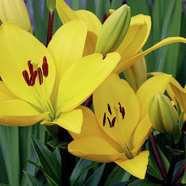 Yellow Lily Family by Debra Orlean