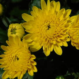 Yellow Mums in Autumn by Arlane Crump