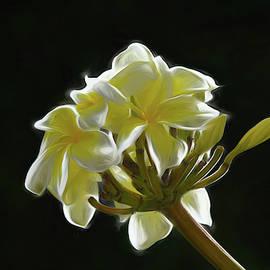 Yellow Plumeria Against Black by Pamela Walton