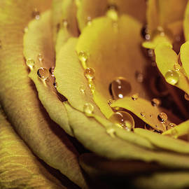 Yellow Rose and Drops Macro by Keith Smith