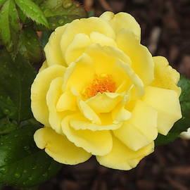 Yellow Rose by Barbara Ebeling