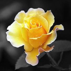 Yellow Rose II on Black by Joan Han