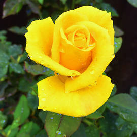 Yellow Rose in Rain by Lawrence Pratt
