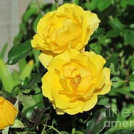 Yellow Rose by Joyce Woodhouse