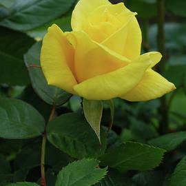 Yellow Rose by Lawrence Pratt