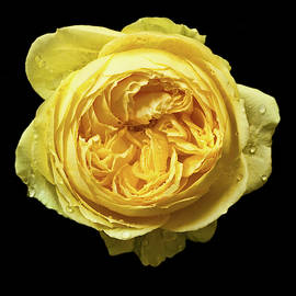 Yellow Rose on a Black Background by Jipsi Immanuelle