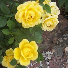 Yellow Roses Family by Paul - Phyllis Stuart