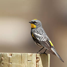 Yellow Rumped Warbler 3730  Dendroica coronata  by Michael Trewet