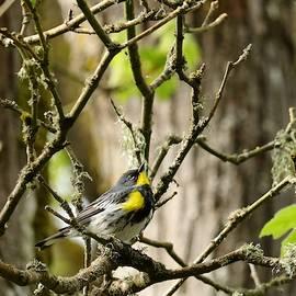 Yellow-rumped Warbler by I'ina Van Lawick