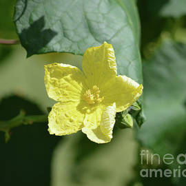 Yellow Star Flower Blooming by Ruth Housley