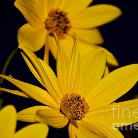 Yellow Sunflowers Delight by Debra Banks