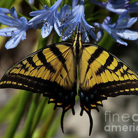 Yellow Swallow Tail by Dennis Morris
