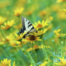Yellow Swallowtail in Yellow Sunflowers by Maili Page