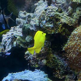 Yellow Tang 1 by Chris Flees