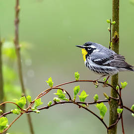Yellow-thrroated Warbler - 2019042207 by Mike Timmons