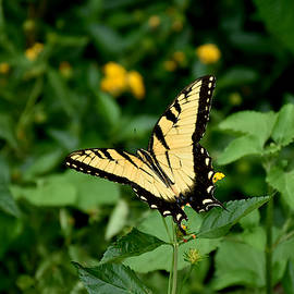 Yellow Tiger Swallowtail Butterfly  by Chris Mercer