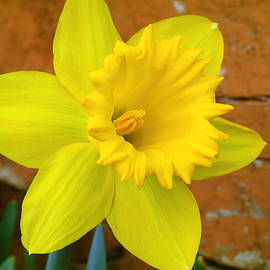 Yellow Trumpet Daffodil by Kay Novy