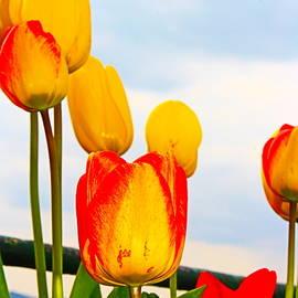Yellow Tulip Show by Loretta S