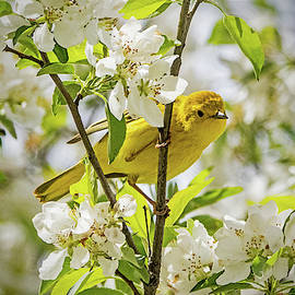 Yellow Warbler Among the Blossoms by Ira Marcus