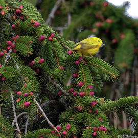Yellow Warbler Male by Phill Doherty