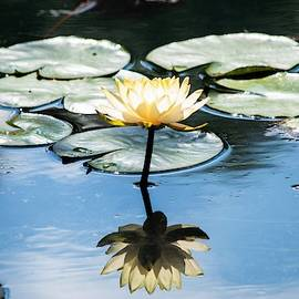 Yellow Water Lily Reflection - Gibbs Gardens by Mary Ann Artz