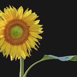 You Are My Sunshine - Sunflower by Nikolyn McDonald