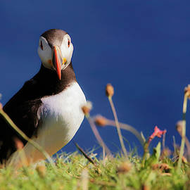 You Lookin' At Me - Atlantic Puffin - Staffa by Jason Politte