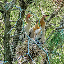 Young Anhingas in the Nest by TJ Baccari
