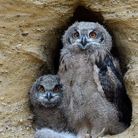 Ralf Kistowski - Young chicks... Eurasian Eagle Owls