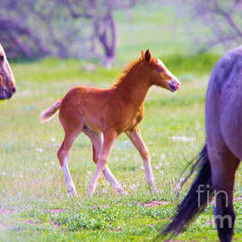 Young colt guarded by a stallion by Jeff Swan