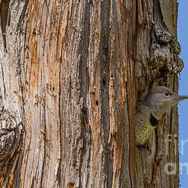 Young Flicker Waiting to be Fed by Marv Vandehey