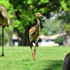 Young Gangling Crane by William Tasker
