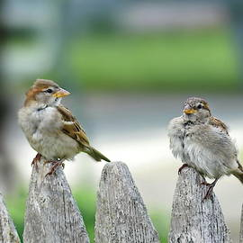 Young House Sparrows by Lyuba Filatova