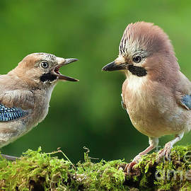 Young jay bird with parent close up by Simon Bratt Photography LRPS