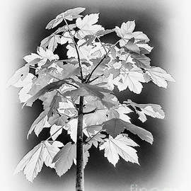 Young Maple Tree in Infrared by Norman Gabitzsch
