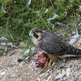 Young Peregrine Falcon 8089 by Craig Corwin
