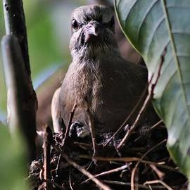 Young Pigion In Nest by Mesa Teresita