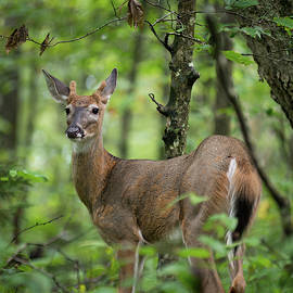 Young White-tailed Deer, Odocoileus Virginianus, With Velvet Antlers by William Dickman