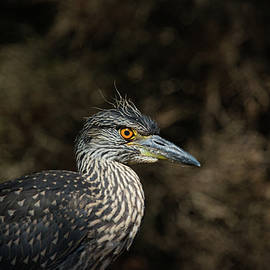 Young Yellow Crowned Heron by Karol Livote
