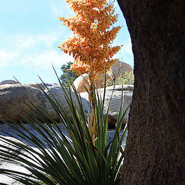 Yucca Flower and Rocks by Ron Regalado