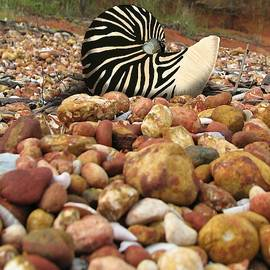 Zebra Nautilus Shell on Bauxite Beach by Joan Stratton