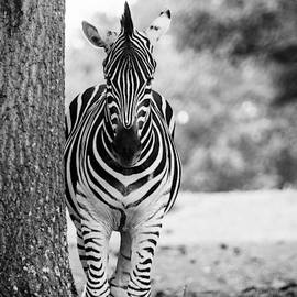 Mary Ann Artz - Zebra Portrait - Black and White
