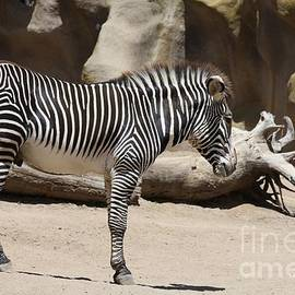 Zebra Profile  by John Telfer