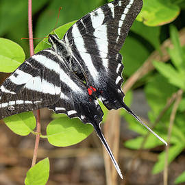 Zebra Swallowtail Butterfly #1 by Todd Henson