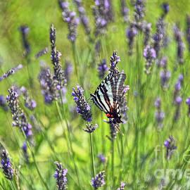 Zebra Swallowtail Butterfly in Lavender Field by Catherine Sherman