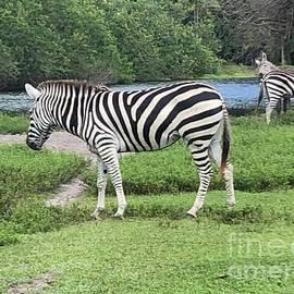 Zebras With Egret Grazing by John Telfer