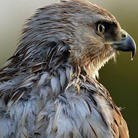 A hawk at sunrise. by Michael Hoagland