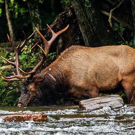 American Elk by John Ray