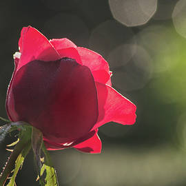 Another BSG Rose by Don Johnson